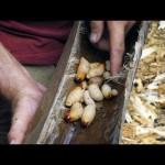 A Larvae Lunch | Primal Survivor