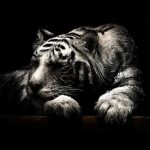 Tiger – Speed Painting (#Photoshop) | CreativeStation
